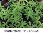 Small photo of Lemon verbena plant leaves. Aloysia citrodora herb.