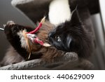 Stock photo brown maine coon cat lying on cat house and playing with toy 440629009