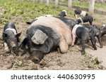 A Large Saddleback Pig Lying...