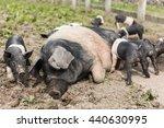 A Large Saddleback Pig Lying...