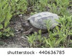 A Common Snapping Turtle...