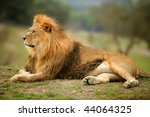 Beautiful Lion Wild Male Anima...