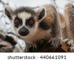 portrait of red lemur  in... | Shutterstock . vector #440661091