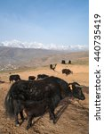 Small photo of Yak herds feeding in the morning grass and village inclose mountain a famous landmark in Ganzi, Sichuan, China.