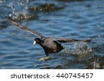 American Coot Running On Water...