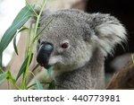 australian koala bear | Shutterstock . vector #440773981