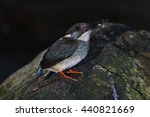 Small photo of Blue-banded Kingfisher Alcedo euryzona Male Birds of Thailand