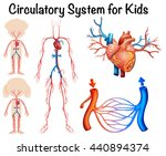 circulatory system for kids...   Shutterstock .eps vector #440894374