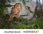 Tawny Owl Strix Aluco In The...