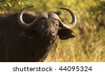 buffalo grazing on some grass...   Shutterstock . vector #44095324
