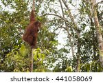 Big Red Male Orangutan Eating...