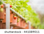 ripe strawberries on a bush to... | Shutterstock . vector #441089011