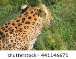 A Cheetah Close Up.
