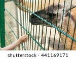 Cute Little Boy Feeding Alpaca...