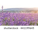 lavender flowers field...   Shutterstock . vector #441199645