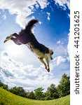 Border Collie Jumping For The...