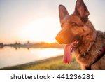 Happy German Shepherd At The...