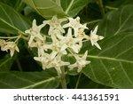 giant indian milkweed white... | Shutterstock . vector #441361591