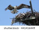 Osprey Returning To Its Nest