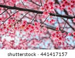 Wild Himalayan Cherry Or Sakur...