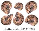 Small photo of A set of isolated ammonites on white background