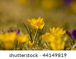 beautiful yellow crocus | Shutterstock . vector #44149819