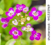 Small photo of A macro shot of some pink coloured alyssum blooms.