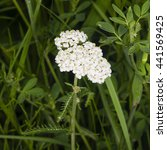 Small photo of Blooming Common Yarrow, Achillea millefolium, macro, selective focus, shallow DOF