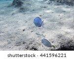 Small photo of Blue tang (Acanthurus coeruleus)