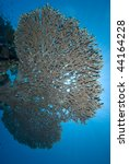 Small photo of Underneath view of a Table Coral (Acropora pharaonis) . Red Sea, Egypt.