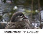 Small photo of Mandarin Duck (Aix galericulata)