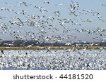 Winter Snow Geese Migration...