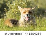 smiling red fox on the grass | Shutterstock . vector #441864259
