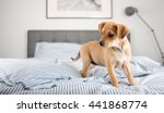 spoiled tan colored terrier... | Shutterstock . vector #441868774