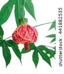 flowering maple plant  or... | Shutterstock . vector #441882535