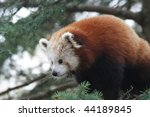 Cute Red Panda Sitting In Pine...