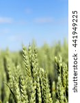 Small photo of photographed close-up of unripe green grass growing on agricultural field, agriculture