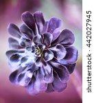 Small photo of Purple succulent flower or plant. Aeonium Zwartkop.