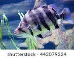 Fish Siamese Tigerfish Vertica...