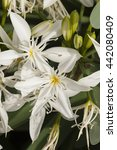 Small photo of Pancratium white flowers, herbaceous and bulbous plants in the Amaryllis family