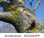 yellow lichen on a tree close up   Shutterstock . vector #442106299