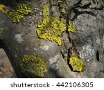 yellow lichen on a tree close up   Shutterstock . vector #442106305