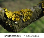 yellow lichen on a tree close up   Shutterstock . vector #442106311
