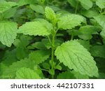 melissa plants on a bed close up   Shutterstock . vector #442107331