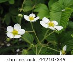 blossoming of wild strawberry...   Shutterstock . vector #442107349