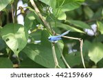 Small photo of African Blue flycatcher (Elminia longicauda) in Kibale national Park, Uganda