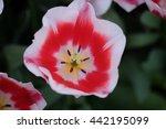 top view of tulip flower on...   Shutterstock . vector #442195099
