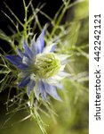 Small photo of Macro of Nigella damascena (love-in-a-mist, ragged lady or devil in the bush) on black color background, selective focus