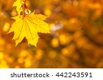 Yellow Maple Leaf In Focus...