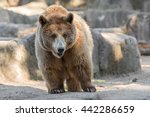 grizzly bear | Shutterstock . vector #442286659